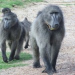 becca-hensley-africa-baboon-family