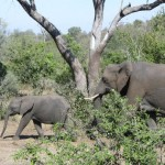becca-hensley-africa-elephants