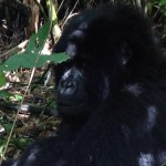 becca-hensley-close-up-with-gorilla-uganda-africa