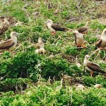 becca-hensley-red-footed-boobies-galapagos-island-2014
